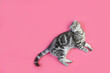 Gray Scottish Fold kitten lies on a pink background isolated
