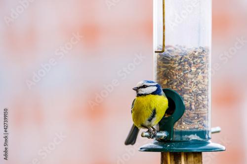 Obraz na plátně a blue tit bird on a feeder