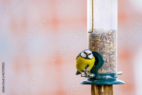 Fototapeta a blue tit bird on a feeder