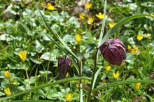 Schachblume (Fritillaria Meleagris), Auch Schachbrettblume Oder Kiebitzei Im Rombergpark In Dortmund, Deutschland.