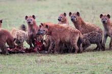 Closeup Shot Of Hyenas In The Field