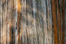 Beautiful Texture Of Multi-colored Striped Bark Of Eucalyptus Tree. Close-up. Interesting Bark Of Young Tree. Sochi Landscape Park Near Winter Theater. Fresh Wallpaper And Nature Background Concept