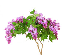 Purple Lilac Blooming Branch.