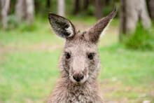 Joey Young Kangaroo Portrait. Australian Marsupial Wildlife