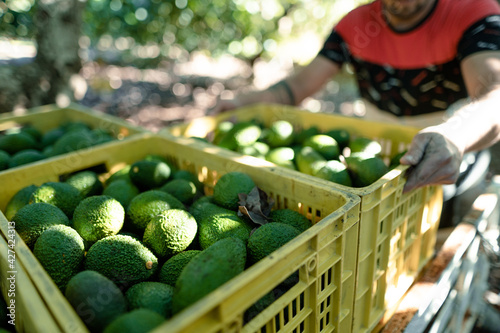 Tela Farmers loading the truck with full hass avocados boxes