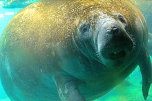 Manatee Underwater In Crystal River National Wildlife Refuge, Florida, United States. Caribbean Manatee. Trichechus Manatus Species. Herbivorous Marine Mammals, Also Called Sea Cows.