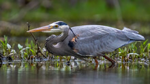 Great Blue Heron Hunting For A Fish Meal