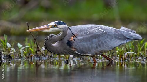 Fotografia, Obraz Great Blue Heron hunting for a fish meal