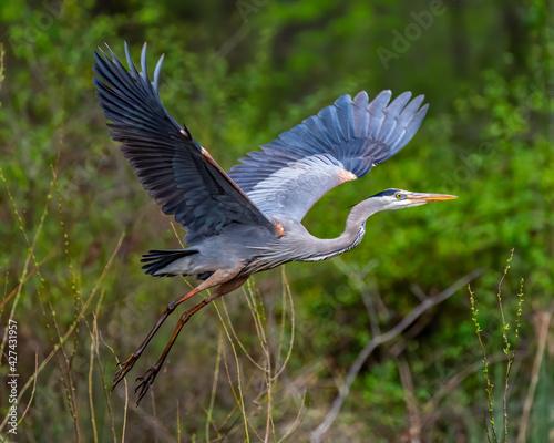 Fotografia, Obraz Great Blue Heron in flight