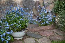 Forget-me-not Flowers In Rustic Garden