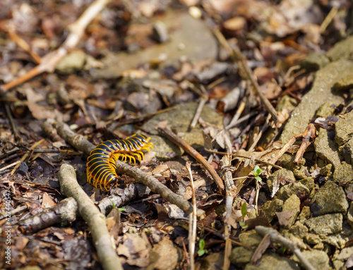 Fotografie, Obraz Selective focus shot of a brown centipede on the ground