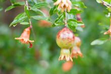 Pomegranate Growing On  A Tree
