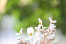 White Begonia Flower Close Up