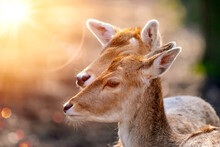 Portrait With A Blurred Background Of Two Fallow Deer Cows