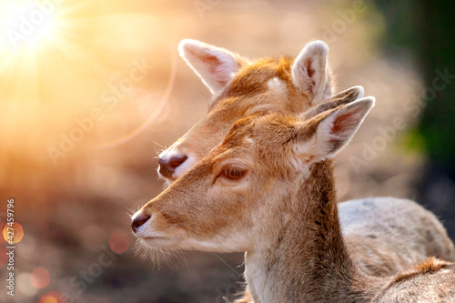 Obraz na plátně Portrait with a blurred background of two fallow deer cows