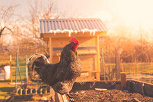 Rooster In The Garden During Spring Time.High Quality Photo.