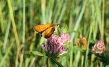 Beautiful Skipper Butterfly On A Clover Flower