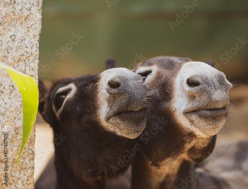 Stampa su Tela Close up of donkey