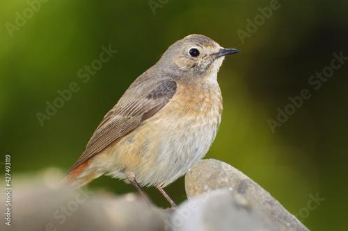 Photo Common Redstart, Phoenicurus phoenicurus, female stands on stones