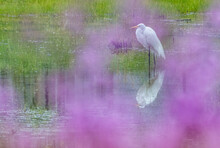 A Great Egret Looks For Food In A Stromwater Retention Pond Of A Frederick, Maryland, Suburb. Shot Was Taken Through A Purple Flowering Tree In My Yard.