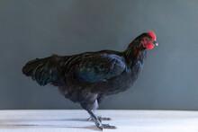 Portrait Of Chicken Standing Against Gray Background