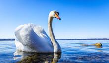 Swan At A Lake