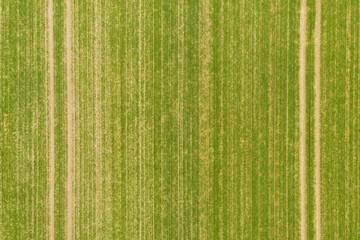 Pole uprawne ze wschodzącym zbożem. Widok z drona.