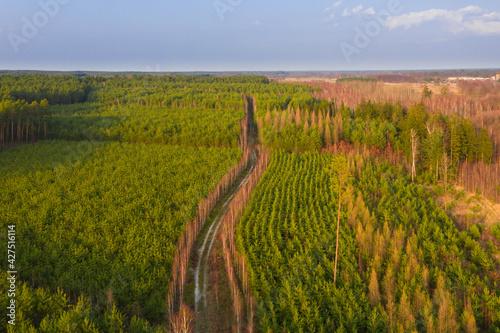 Fototapeta Leśna droga w sosnowym lesie widziana z dużej wysokości. Zdjęcie z drona. obraz