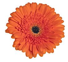 Bright Orange Gerbera Bloom Isolated On White