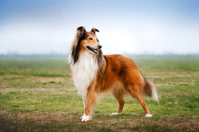 Portrait Of Collie Dog On A Natural Background