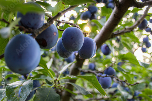 Fototapeta A large branch with lots of plums
