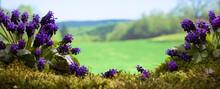 Spring Season Background. Hyacinths In The Spring Season