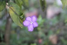 Closeup Shot Of A Purple Brunfelsia Flower