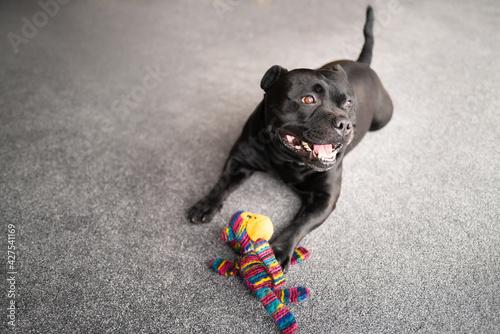 Fotografering Happy Staffordshire bull terrier dog lying on a grey carpet looking towards window light