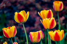 Red Yellow Tulips In A Spring City Park.