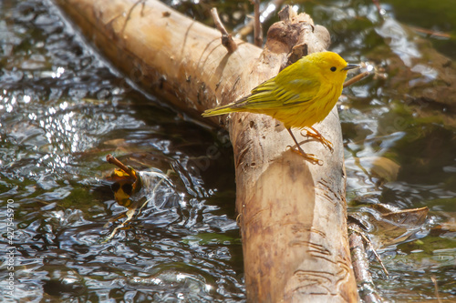 Yellow Warbler perched on a log in the river. Fototapeta
