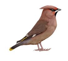Hand-drawn Illustration Of Waxwing. Pinkish-brown Bird.