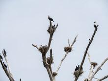 Lake Naivasha, Kenya, Africa - February 25, 2020 - Long Tail Cormorant Perched On Branches.