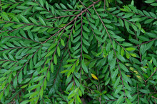 Above View Or Phyllanthus Myrtifolius Green Leaves On The Branches At The Hut. For Nature Background In Garden.