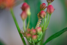 Caterpillars Monarch Butterflies Moths Milkweed Chrysalis