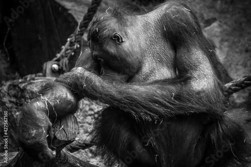 Fotomural Orangutan 1