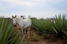 Caballos Blancos En Tequilera, Rodeados De Plantas De Agave.