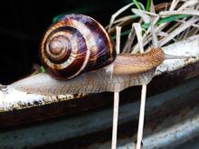 Grape Snail In The Habitat, Helix Pomatia