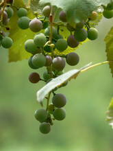 Closeup Of A Bunch Of Unripe Green Grapes Growing On A Vine