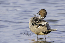 Beautiful Shot Of Northern Pintail (Anas Acuta) Duck Standing On The Water