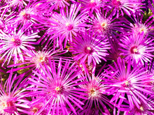 Background Of Violet Flower Carpobrotus Or Delosperma.