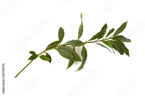 Tela bay leaf isolated on white background
