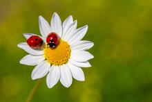 Spring Background With Daisy And Ladybug