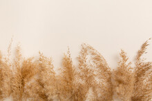 Fluffy Pampas Grass Cortaderia-selloana. Dry Pampas-grass Reeds On Light-beige Background. Creative Top View Layout With Pampas Grass Around Background In Neutral Colors. Eco Natural Flat Lay