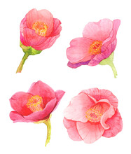Red Camellia Japonica Flower Isolated On White Background. Japanese Tsubaki. Symbol Of Love. Watercolor Hand Painting Illustration.